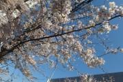 桜の開花を見て回る